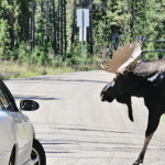Avoid Hitting the Moose